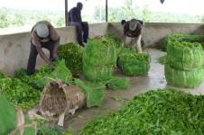 Tea pluckers Uganda